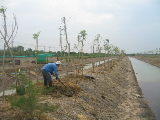 Pimai employees have cooperated to grow the salt tolerant trees.