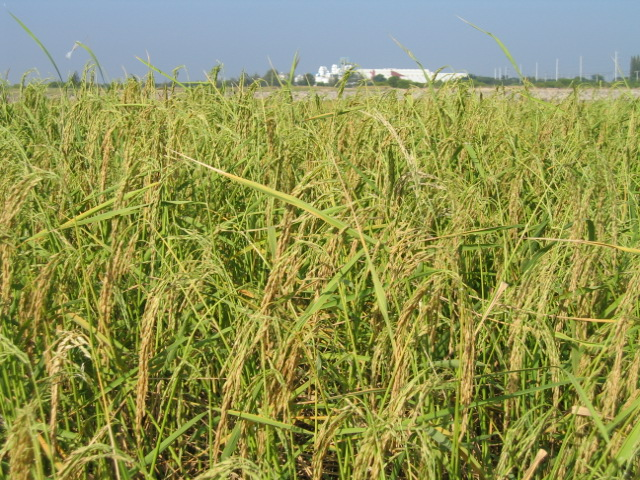 Rice produced the panicle prior to harvesting.