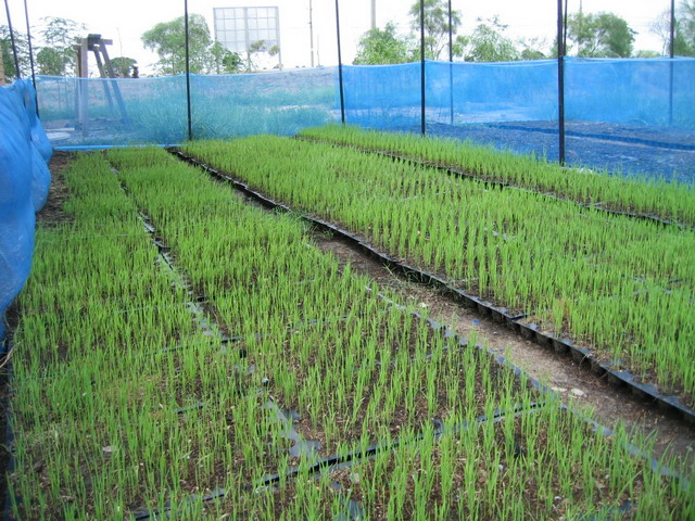 Rice seedlings were grown in the transplanting tray for salt-tolerant improvement.