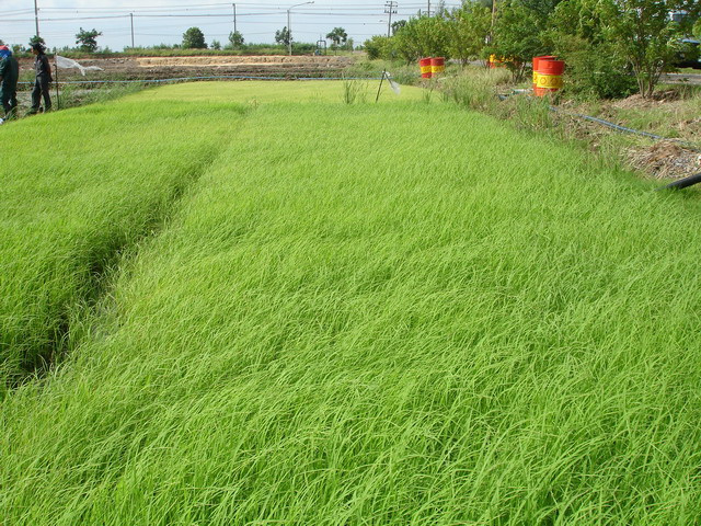 Hommali rice seedlings were grown in the transplanting plot for cultivation development.