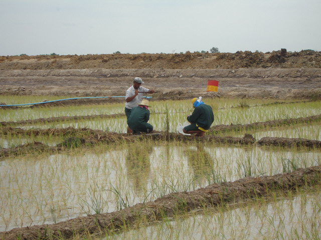 After germination for 1 month, seedlings were transplanted to the rice field.