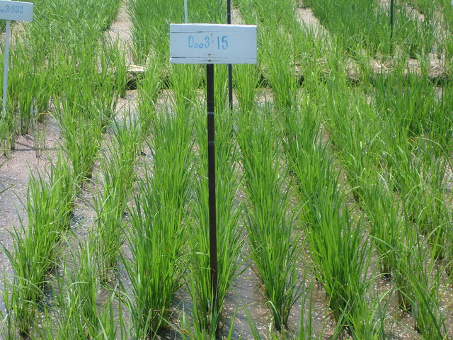 Rice seedlings were grown for 1 month in the field for the salt tolerant improvement.