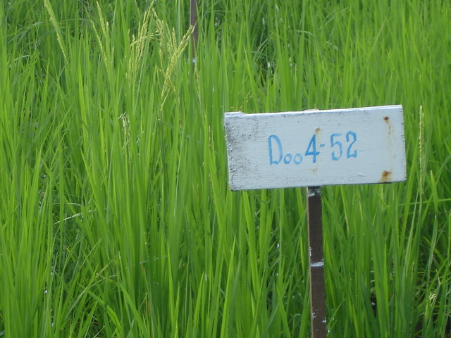 Rice developed to the flowering bud.