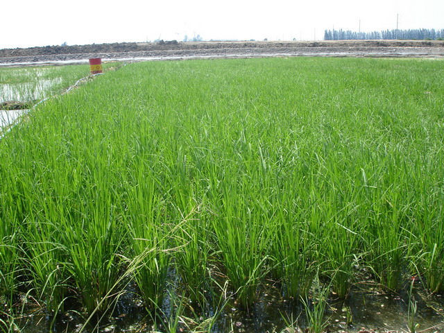 Rice developed the sprout before flowering bud initiation.